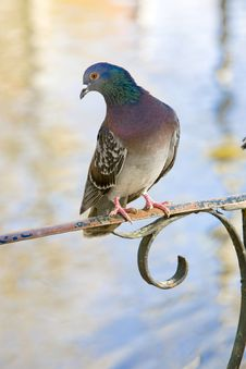 Free Pigeon Standing On A Classic Metal Railing Royalty Free Stock Photos - 16915448