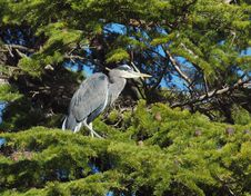 Free Great Blue Heron (Ardea Herodias) Royalty Free Stock Photos - 16916438