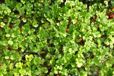 Free Parsley Fields Royalty Free Stock Image - 16916766