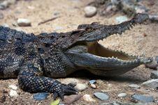 Free Crocodile 1 Royalty Free Stock Photo - 16917035