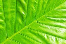 Free Taro Leaf Stock Images - 16918054