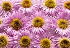 Free Pink Daisies. Royalty Free Stock Photography - 16918327