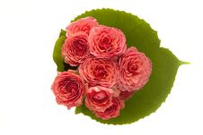 Free Pink Roses Royalty Free Stock Photography - 16918377
