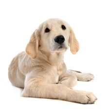 Free Puppy Golden Retriever Stock Images - 16918884