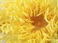 Free Pollen Yellow Lotus Royalty Free Stock Photo - 16923265