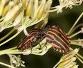 Free Striped Shield Bugs (Graphosoma Lineatum) Royalty Free Stock Photo - 16923925