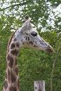Free Giraffe Portrait Stock Photos - 16924003