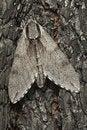 Free Pine Hawk-moth (Sphinx Pinastri) Royalty Free Stock Images - 16924359