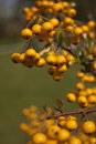Free Autumn Yellow Berries Royalty Free Stock Photography - 16929597