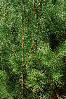 Free Pine Branch Royalty Free Stock Photo - 16921515