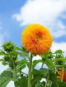 Free Beautiful Sunflower With Blue Sky Stock Images - 16922474