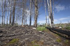 Free Dead Trees After A Forest Fire Royalty Free Stock Image - 16922756