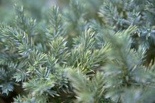 Free Coniferous Branches Stock Photo - 16922760