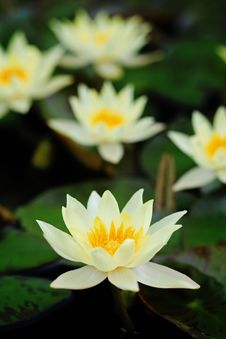 Free Yellow Water Lily Stock Image - 16922951