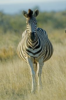 Free Pregnant Zebra Stock Photography - 16923492