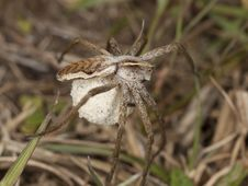 Free Female Wolf Spider With Eggs Stock Images - 16923514