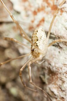 Free Daddy Longlegs Sitting On Wood Stock Photography - 16923552