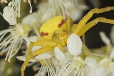 Goldenrod Crab Spider In Agressive Position Stock Images