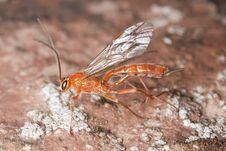 Free Parasite Wasp Royalty Free Stock Image - 16923886