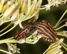 Free Striped Shield Bugs (Graphosoma Lineatum) Royalty Free Stock Photo - 16923925