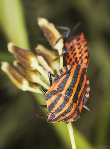 Free Striped Shield Bugs (Graphosoma Lineatum) Stock Images - 16923944