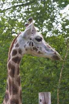 Free Giraffe Portrait Stock Photos - 16924003