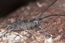Free Small White-marmorated Long-horned Beetle Royalty Free Stock Image - 16924086