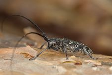 Free Small White-marmorated Long-horned Beetle Royalty Free Stock Photos - 16924248