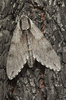 Free Pine Hawk-moth (Sphinx Pinastri) Royalty Free Stock Images - 16924359