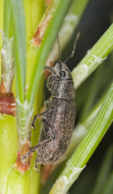 Free Weevil Sitting On Fir Stock Image - 16924701