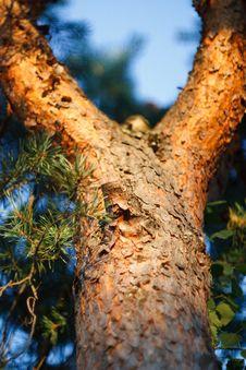 Free Pine Stock Image - 16924761