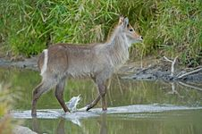 Free Waterbuck Walking Royalty Free Stock Images - 16925049