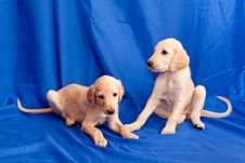 Free Two Saluki Pups Royalty Free Stock Image - 16925366
