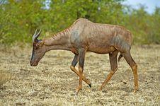 Free Rare Antelope Stock Photos - 16925843