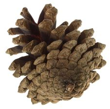 Free Big Pine Cone Royalty Free Stock Images - 16927079