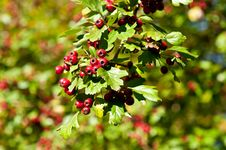 Free Red Berries Stock Images - 16927664
