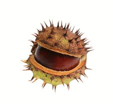 Free Conker Stock Photos - 16929133