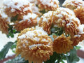 Free Snow On Chrysanthemum Stock Image - 16933241