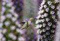 Free Hummingbird And White Wildflowers Royalty Free Stock Image - 16933816
