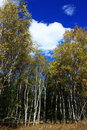 Free Landscape  Of Autumn Birch Stock Images - 16936324