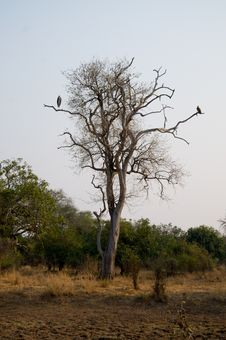 Free Stork And Vulture In Tree Royalty Free Stock Photography - 16930257