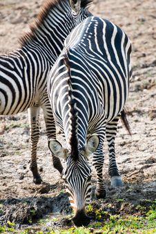Free Beautiful Wild Zebra Stock Photos - 16931403