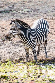 Free Beautiful Wild Zebra Stock Photos - 16931453