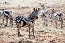 Free Beautiful Wild Zebra Royalty Free Stock Photography - 16931537