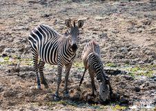 Free Two Wild Zebras Drinking Water Stock Image - 16931611