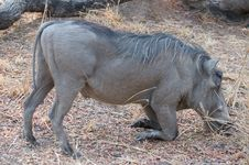 Free Wild Warthog Royalty Free Stock Photo - 16932055
