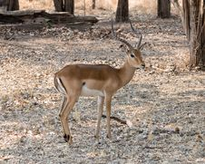 Free Proud Male Impala Stock Photos - 16932073