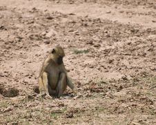 Free Cute Baboon Digging In Dirt Royalty Free Stock Images - 16932099