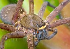 Free Wolf Spider Stock Photo - 16932360