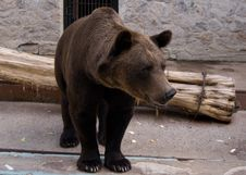 Free Brown Bear In The Zoo Royalty Free Stock Images - 16932579